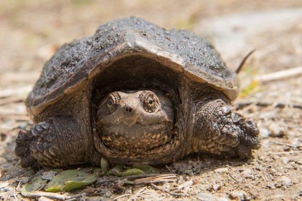 Каймановая или кусающаяся черепаха