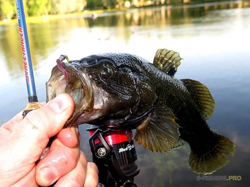 Описание рыбы ротан и всё о его ловле
