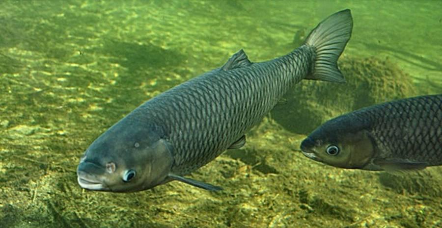 Белый амур рыба: описание и фото, места обитания, особенности и способы лова