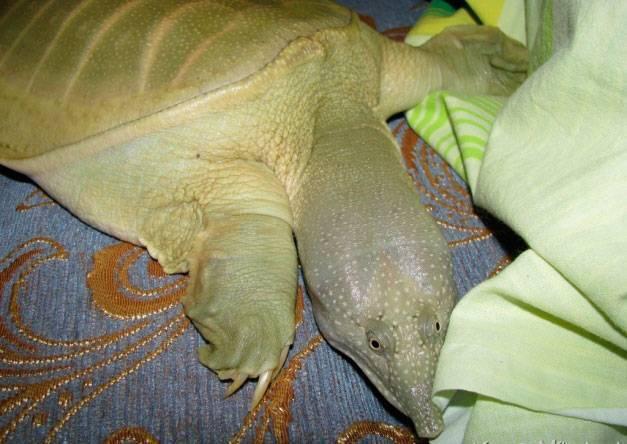 Дальневосточная черепаха википедия