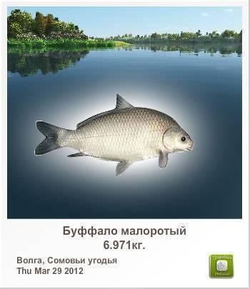 Рыба буффало: описание и фото, где обитает и на что ловить