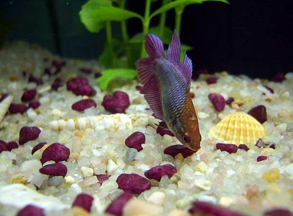 Колумнариоз, или флексибактериоз - симптомы и лечение рыб. фото и видео. | aquariumok.ru