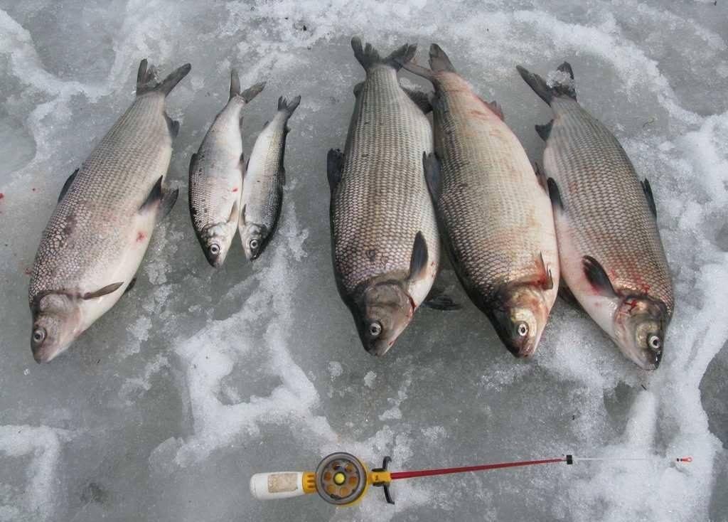 Рыба муксун: описание внешнего вида, ареал обитания