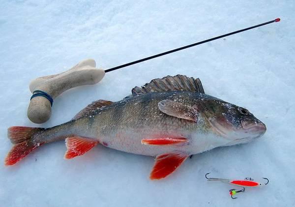 Летняя рыбалка – ловля окуня – советы рыболову