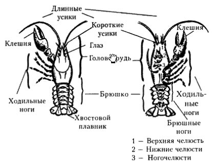 Животное рак: список видов, названий и представителей ракообразных