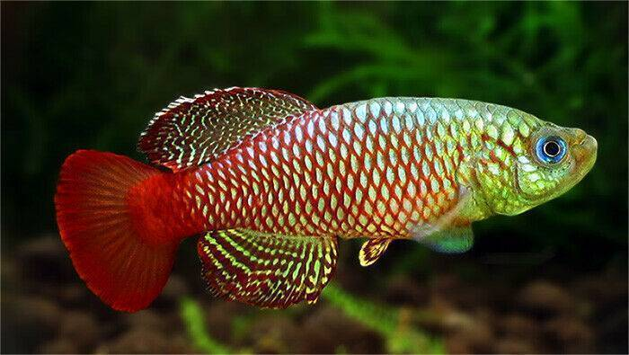 Рыбка орнатус: виды, разведение, содержание и уход аквариумных рыбок, фото