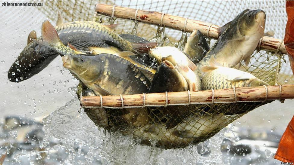 Разведение и выращивание лосося в узв как бизнес
