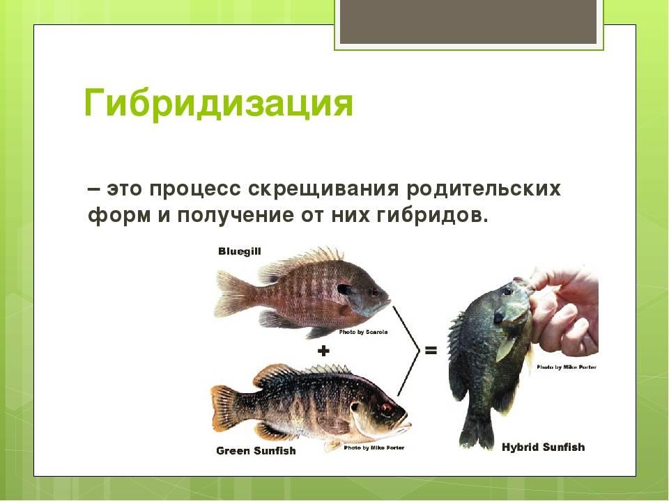Рыба бестер: гибридная форма от скрещивания белуги и осетра