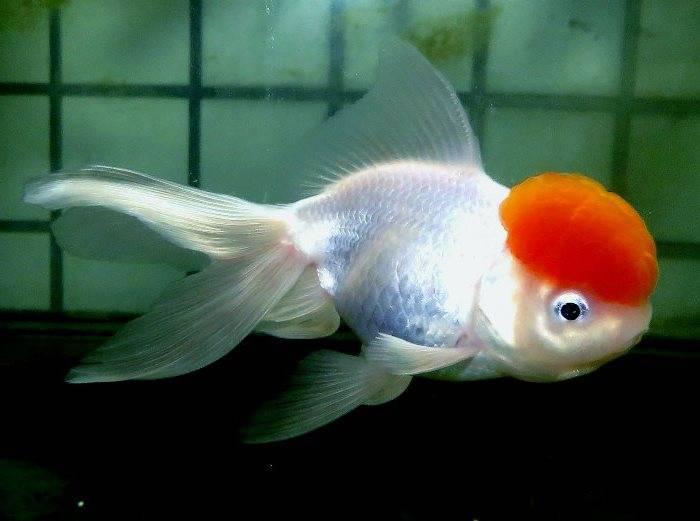 Рыбка оранда (21 фото): описание аквариумной золотой рыбы цвета «красная шапочка» и черного, условия содержания и уход