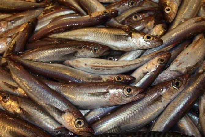 Рыба треска: состав, польза и как приготовить