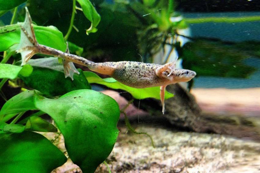 Аквариумные лягушки: содержание, уход и размножение