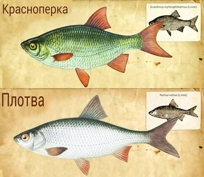 Плотва рыба: как выглядит, чем питается и где водится, когда нерест обыкновенной плотвы