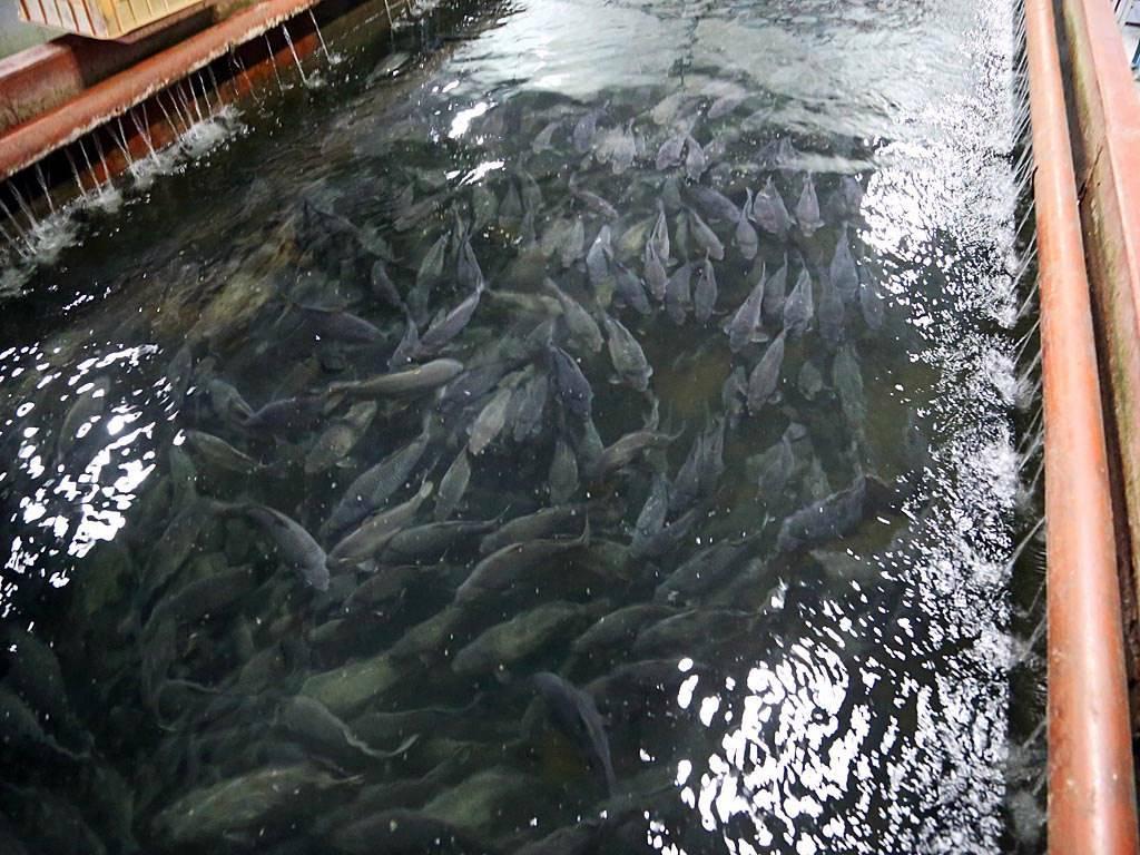Пруд для разведения рыбы своими руками: виды, инструкция по созданию с фото – сад и огород своими руками