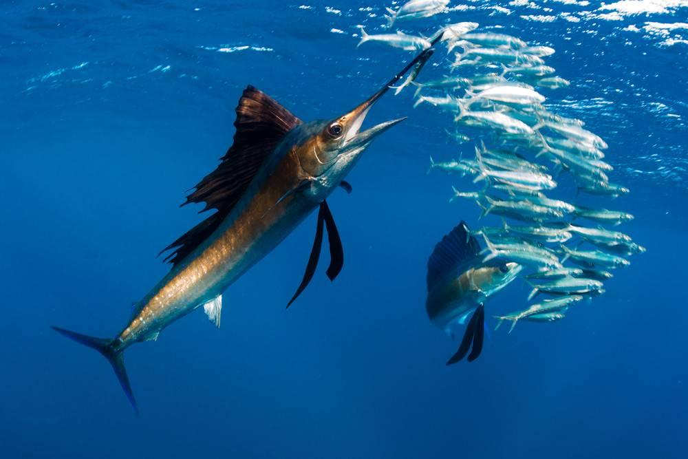 Самая быстрая рыба. какая рыба в океане плавает быстрее всех? : labuda.blog самая быстрая рыба. какая рыба в океане плавает быстрее всех? — «лабуда» информационно-развлекательный интернет журнал