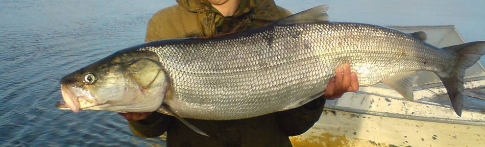 Белорыбица что это за рыба, и как её готовить — 6 рецептов приготовления царской рыбы