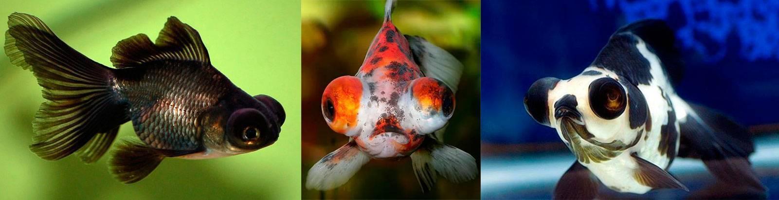 Телескоп рыбка: фото, содержание, совместимость, уход