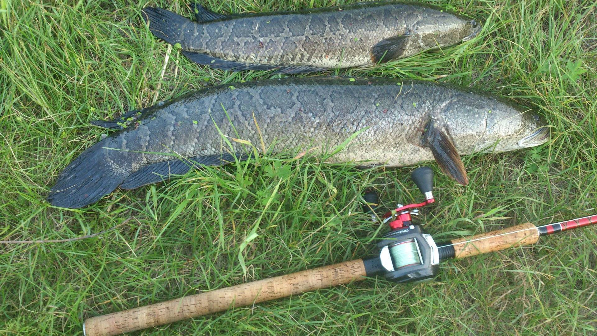 Ловля змееголова: методы ловли - читайте на сatcher.fish