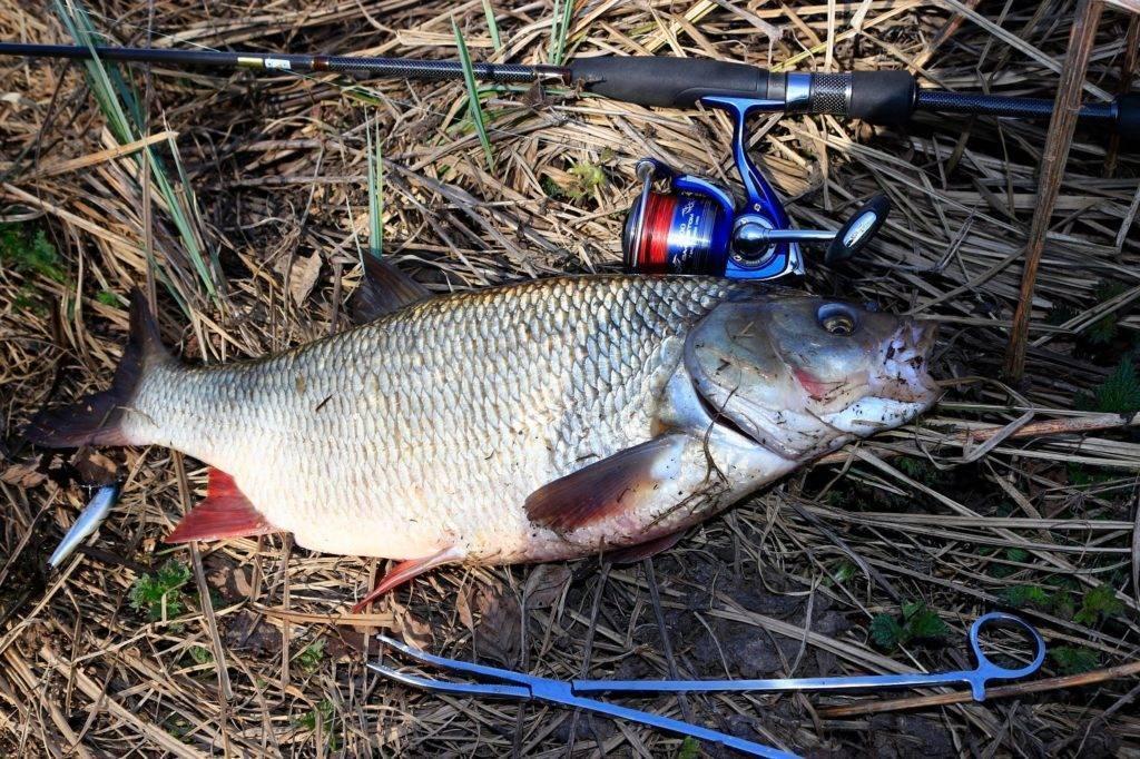Ловля язя на спиннинг - удовольствие для интеллектуальных и талантливых рыбаков