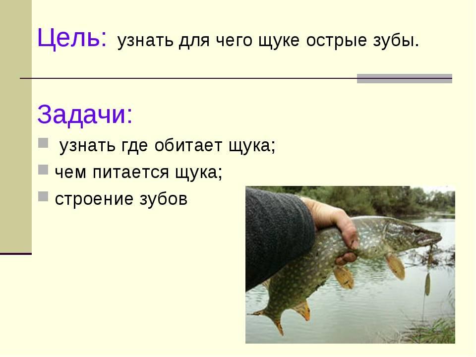 Щука обыкновенная (возраст и продолжительность жизни, строение тела щуки)