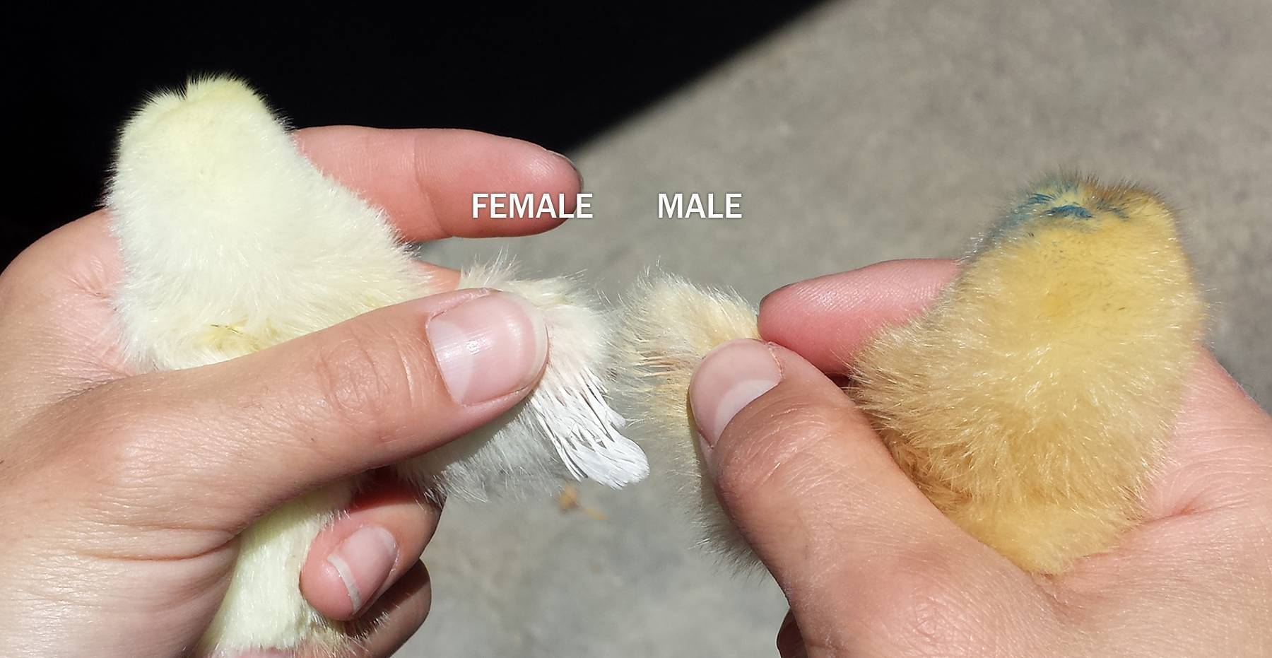 Чем цыпленок бройлер отличается от других видов кур?