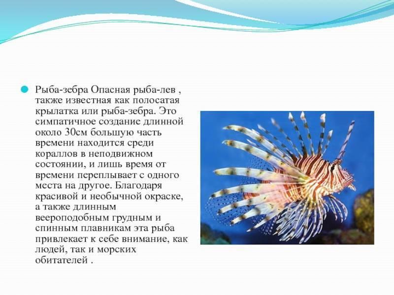 Псевдотрофеус зебра: описание рыбы, фото цихлиды красной и голубой крылатки