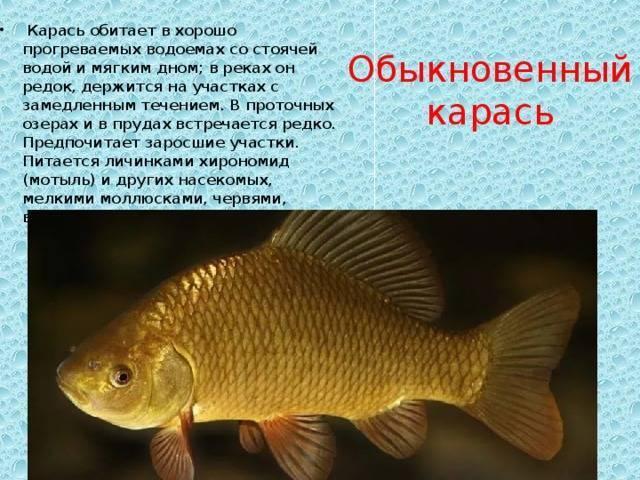 Чем полезна речная рыба карась. почему лучше не есть карася? | здоровье человека
