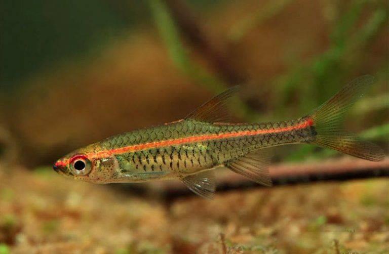 Расбора клинопятнистая: содержание, кормление и совместимость рыбки в аквариуме