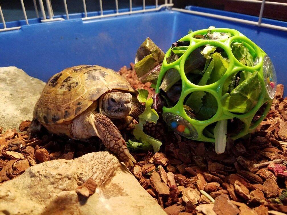Уход и содержание красноухой черепахи в домашних условиях, как правильно ухаживать и кормить питомца