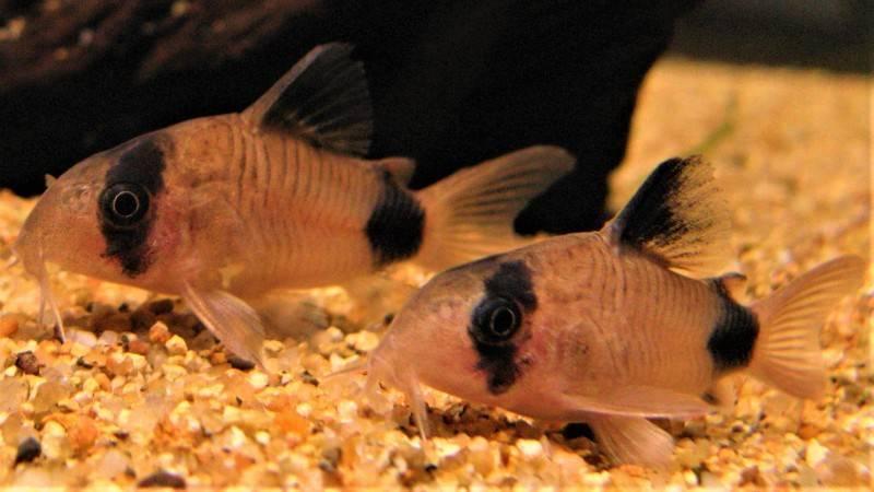 Коридорасы сомы виды с фото рыбок, описанием, содержанием и уходом