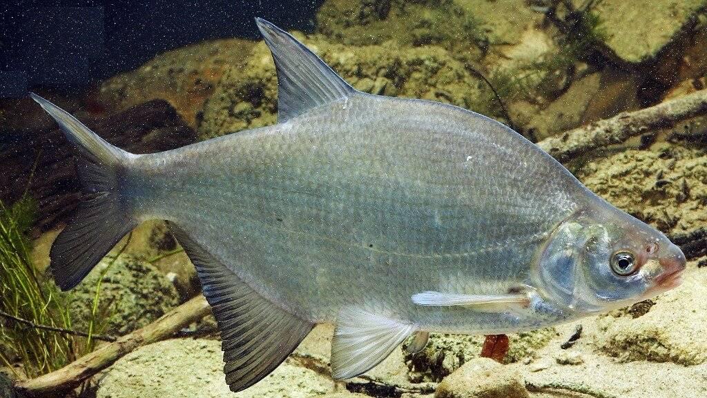 Рыба лещ: (как выглядит, где водится, чем питается, когда нерестится)