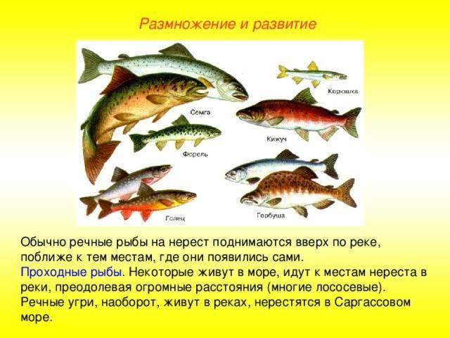 Ценные сорта красной рыбы – полезный продукт на нашем столе