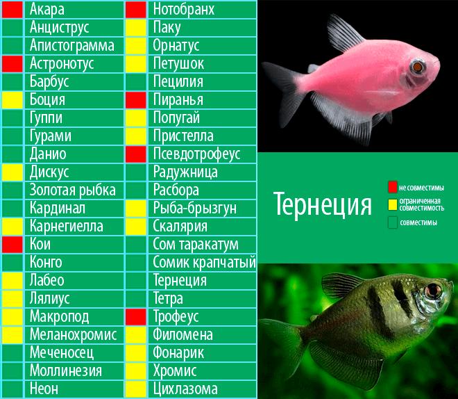 Аквариумная рыбка таракатум: особенности содержания и уход, нерест и разведение