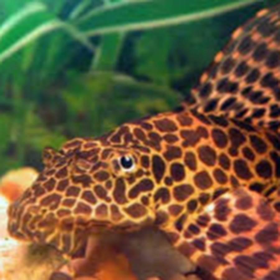 Птеригоплихт парчовый — аквариумный сом