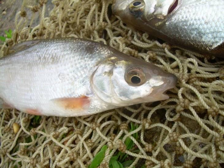 Обыкновенный подуст: рыба семейства карповых, на что ее ловить