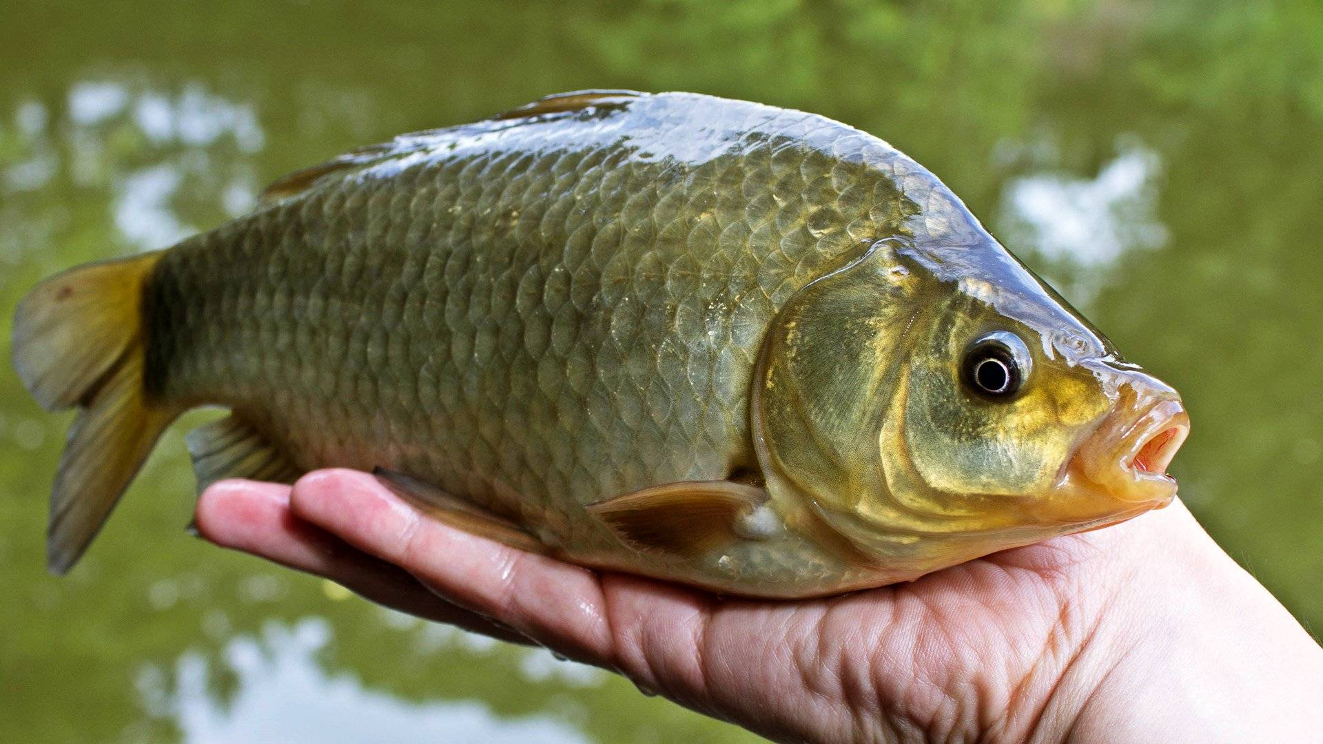 Рыба карась: фото