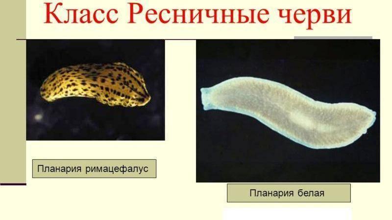 Уникальная особенность свободноживущего червя белая планария