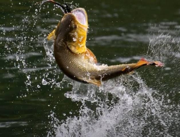 Вытащить рыбу удочкой