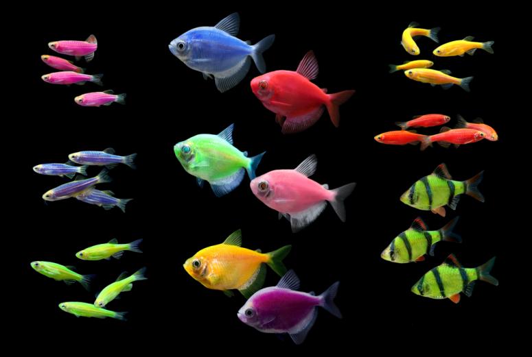 Рыба-клоун (амфиприон)