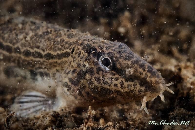 Вьюн (рыба) – описание, виды, где обитает, размножение, фото
