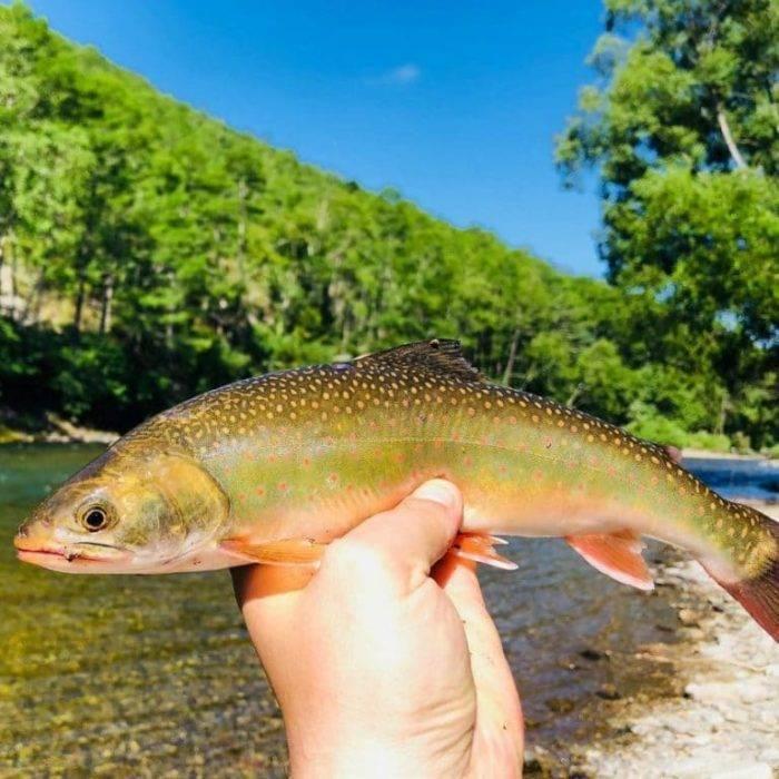 Рыба голец: польза и вред | образ жизни для хорошего здоровья