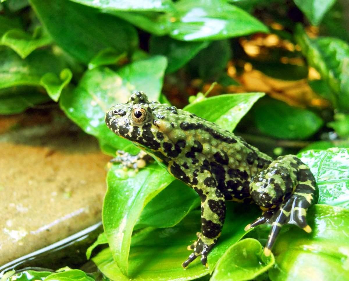 Лягушки, чесночницы и жабы чем питаются, как зимуют — своими руками дом и сад
