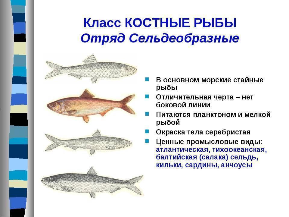 Рыба семейства тресковых — виды, описание