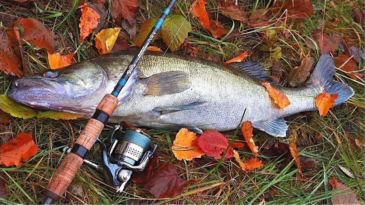 Рыбалка на судака: как поймать и на что клюет клыкастый