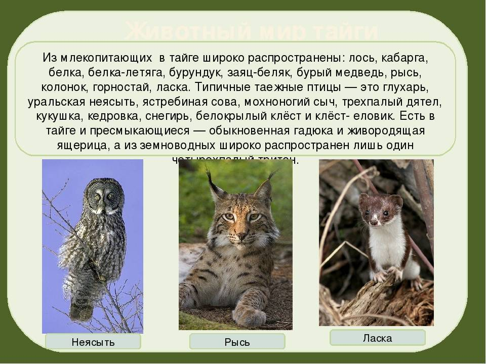 Животные тайги, обитающие в россии: список редких таёжных хищников, птиц, рыб и насекомых