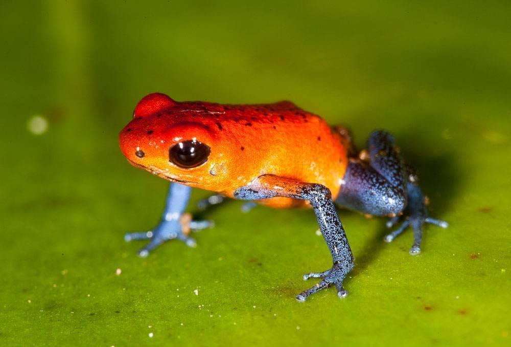 Почему лягушки окрашены в разные цвета? - hi-news.ru