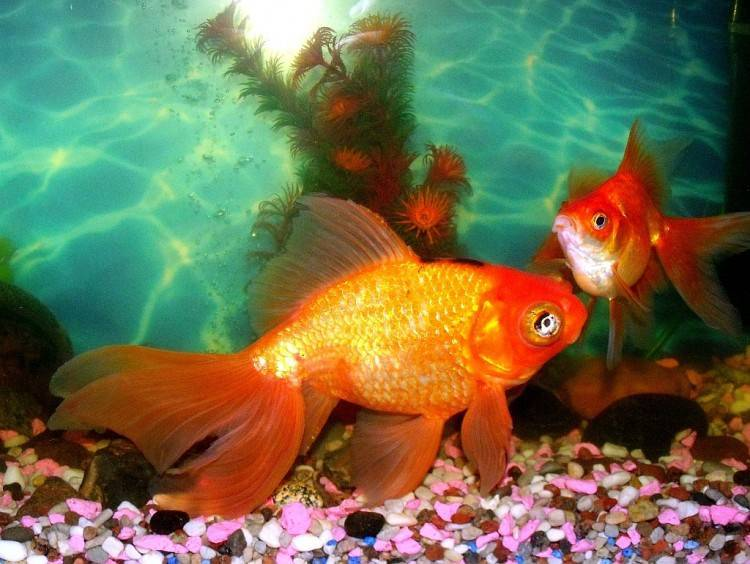 Рыбки клоуны: уход и содержание