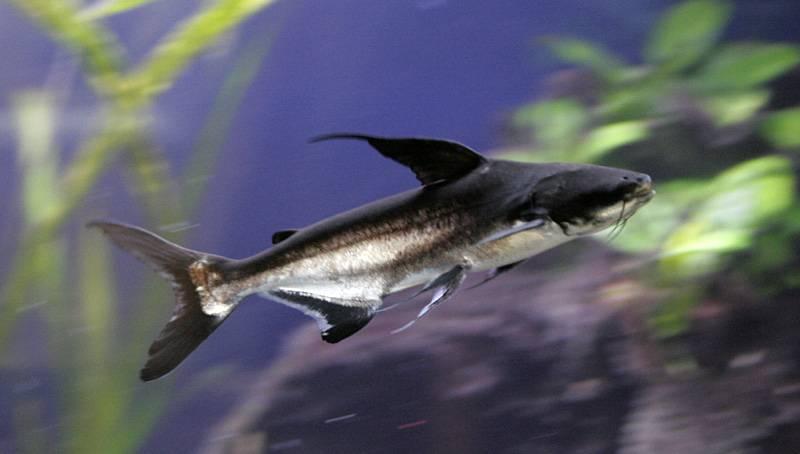 Аквариумная рыбка - акулий сом. описание, содержание, болезни