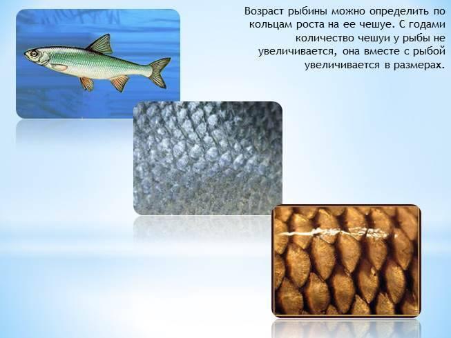 Простипома: где водится эта рыба и как выглядит