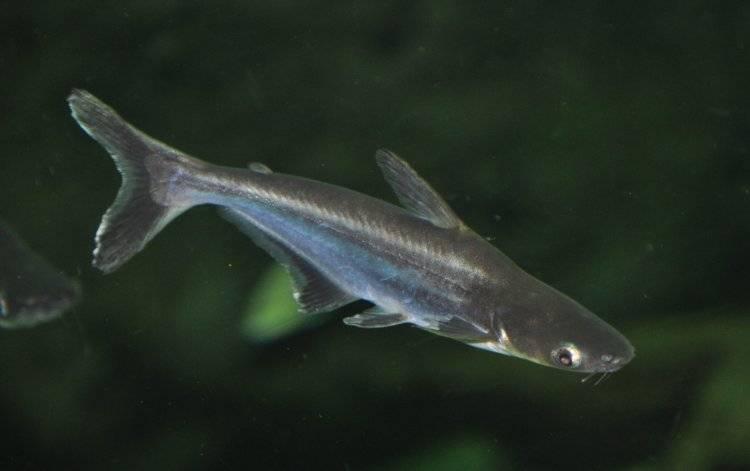 Пангасиус или акулий сом (pangasianodon hypophthalmus)