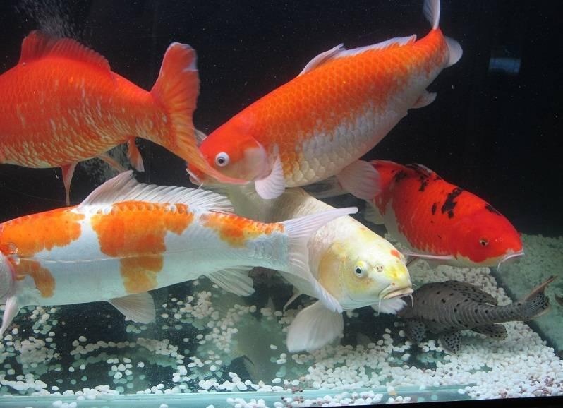 Карп кои: содержание в аквариуме японского (парчового) карася, разведение рыбки кои, породы, сколько живут